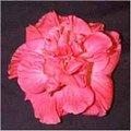 Camellia_Rose.jpg