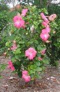 Cecelia-bush.JPG