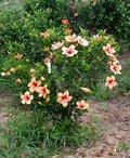 Cuban_Variety-bush.JPG