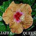 Jaffa_Queen.jpg