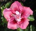 Pink_Poodle2.jpg