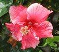 Pink_Radiance.JPG