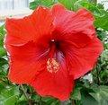 Red_Beauty.jpg